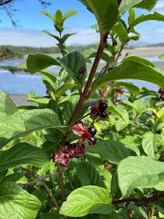 Caprifoliaceae - Lonicera involucrata - Twinberry honeysuckle
