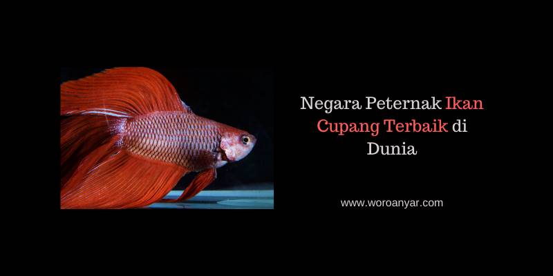 Negara Peternak Ikan Cupang Terbaik di Dunia