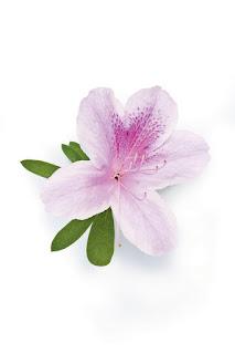 Gambar Bunga Azalea yang Indah 7