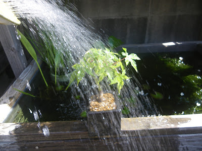 水遣り 盆栽