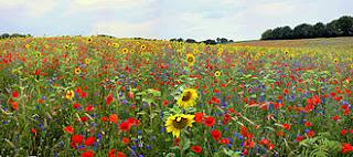 Campo de flores, amapolas
