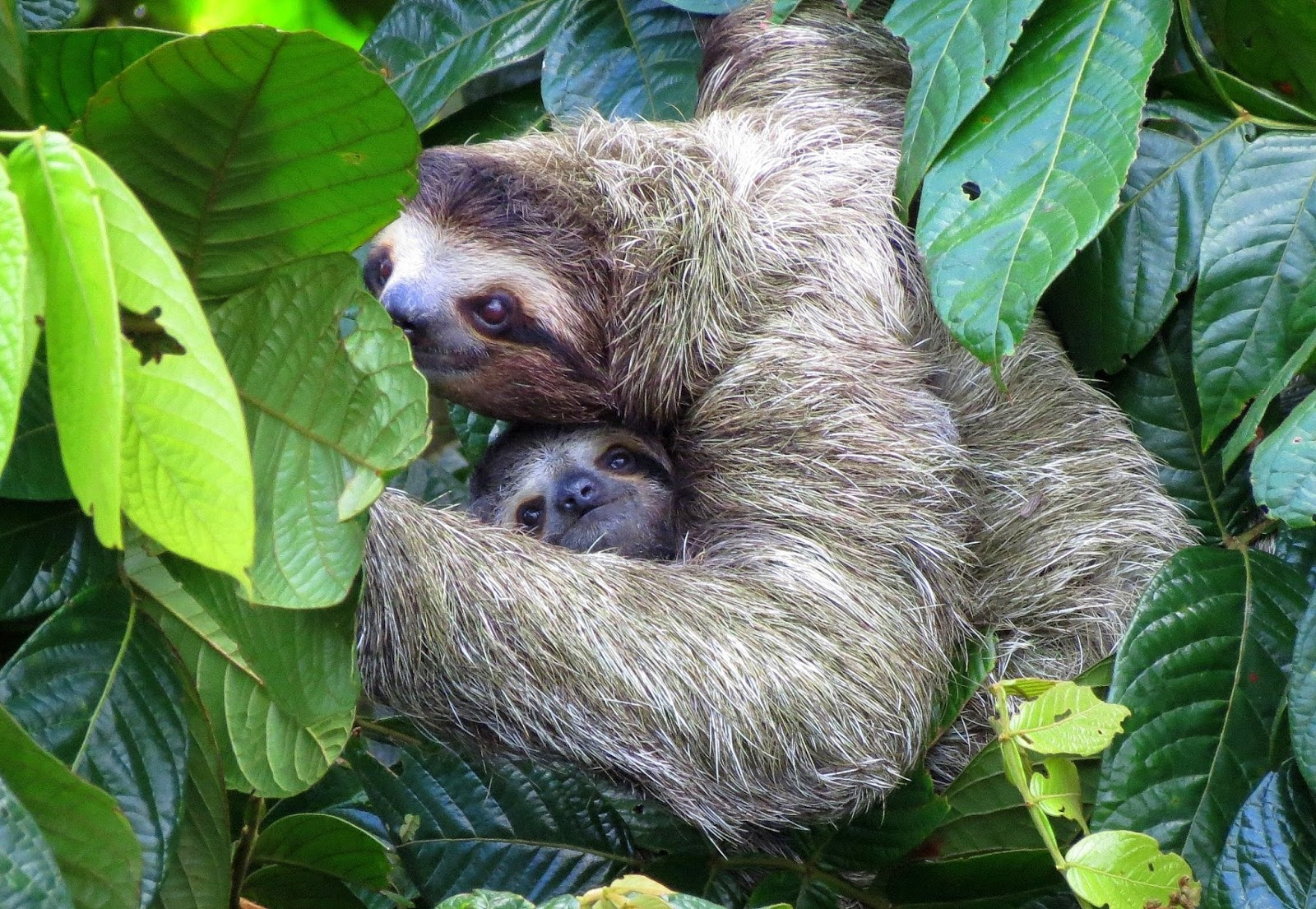 Travels With Birds Brown Three Toed Sloth With Baby