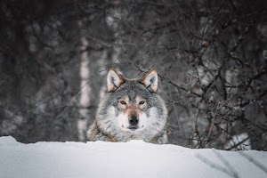 Ageng Prangbatin : Sang Serigala Terakhir (Cerpen)