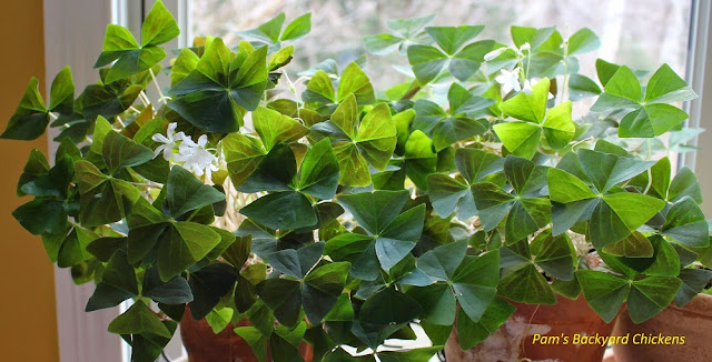 Buying a Shamrock plant for St. Patrick's Day gets you a hardy plant that will rebloom again and again.