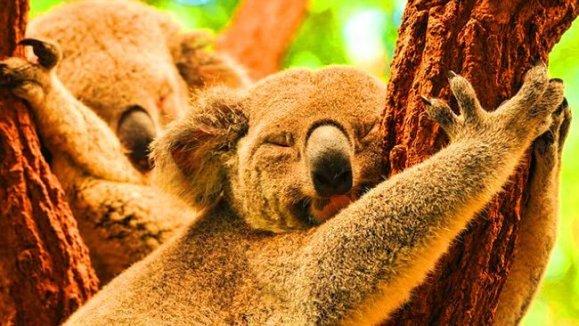 Cohunu Koala Park Tempat menarik di Perth Australia