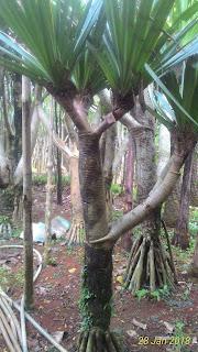 harga jual pohon pandan ulir murah