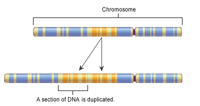 A duplication consists of a piece of DNA that is abnormally copied one or more times