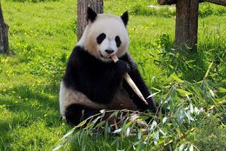 Pasti sudah banyak dari kalian yang tahu hewan dengan muka dan bentuk tubuh lucu satu ini Contoh Report Text about Panda dan Arti Terjemahannya