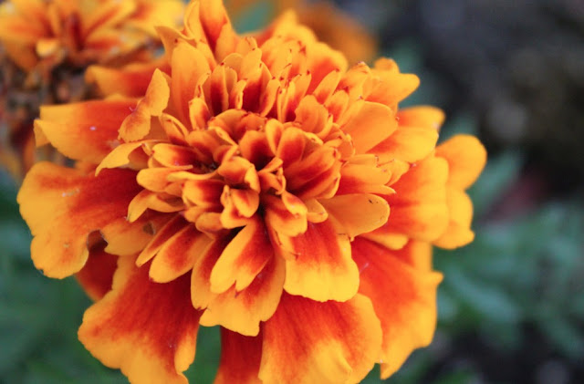 How To Plant Marigolds In Summer Season
