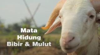 Cara Memilih Kambing & Domba untuk Hewan Qurban