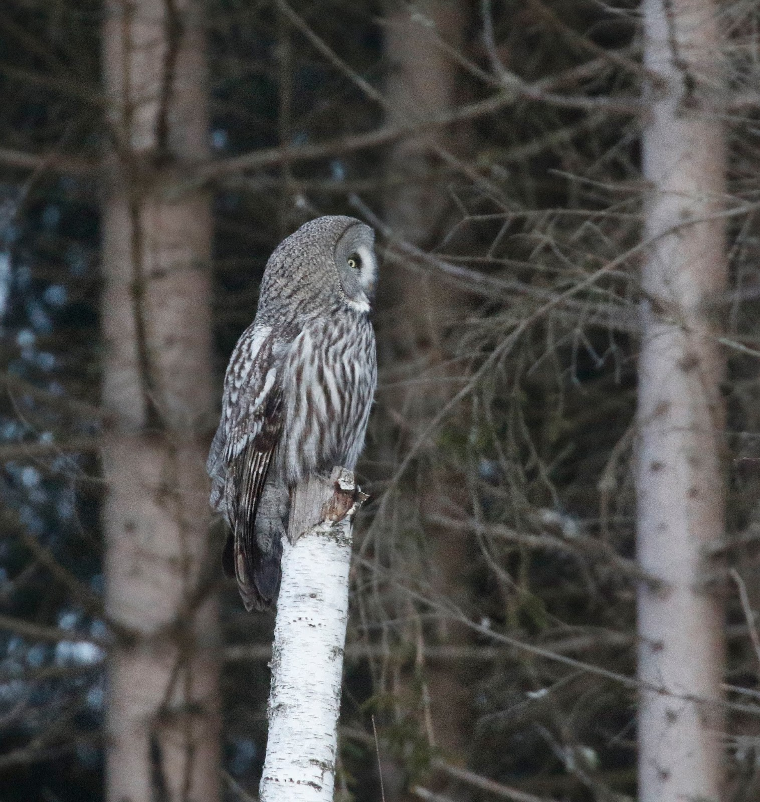 Black Audi Birding: A Great Grey Owl in The Land of the ...