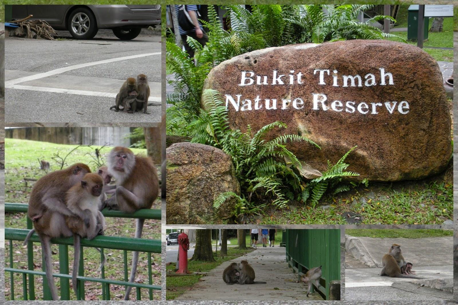 Monkeys - Bukit Timah