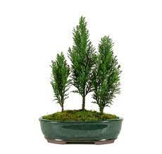scientific name for bald cypress,how to plant a bald cypress tree,bald cypress tree information,bald cypress nebraska,bald cypress seedling,planting bald cypress,swamp cypress trees,grow bald cypress,balding cypress,baldcypress tree