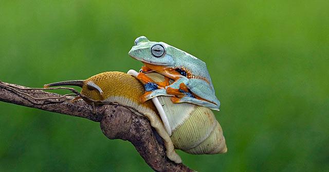 Rana perezosa toma un paseo en la espalada de un caracol