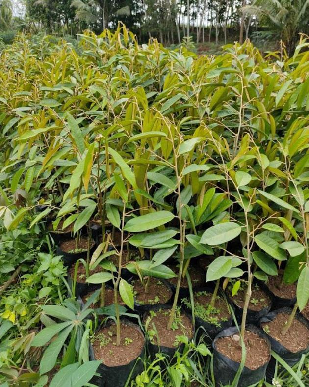 bibit durian musangking jumbo hasil okulasi unggul Palu