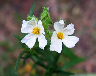 Romerillo (Cistus clusii)flor silvestre blanca