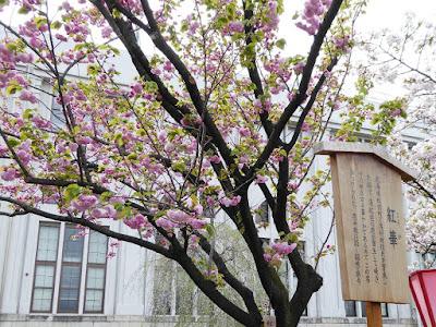 大阪造幣局 桜の通り抜け 紅華