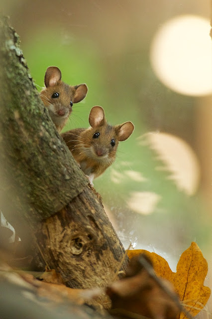 Mice and Voles