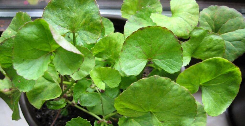 manfaat daun pegagan untuk kesehatan tubuh