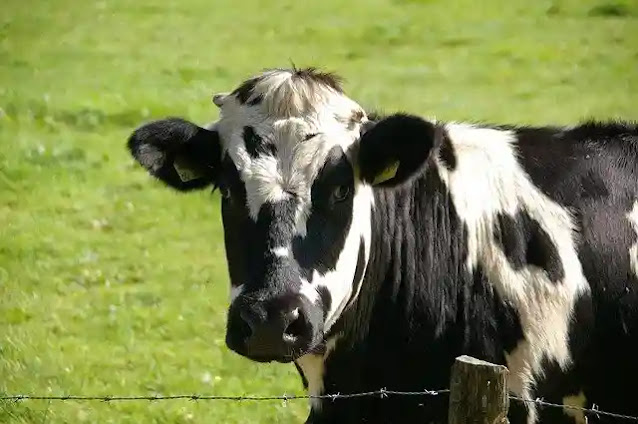 Unknown Facts About Cow in Hindi