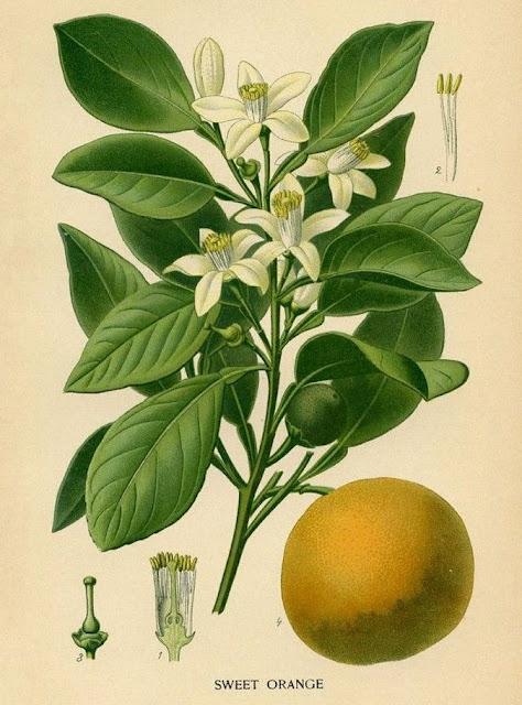 Disegno Citrus sinensis