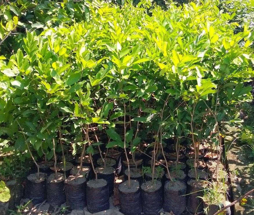 Bibit Tanaman Buah Rambutan Rapiah Jawa Barat
