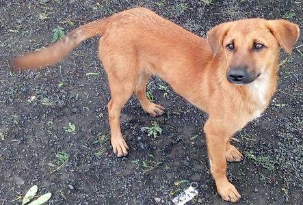 Indian Pariah Dog image