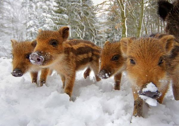 Funny animals of the week - 14 February 2014 (40 pics), cute baby boars
