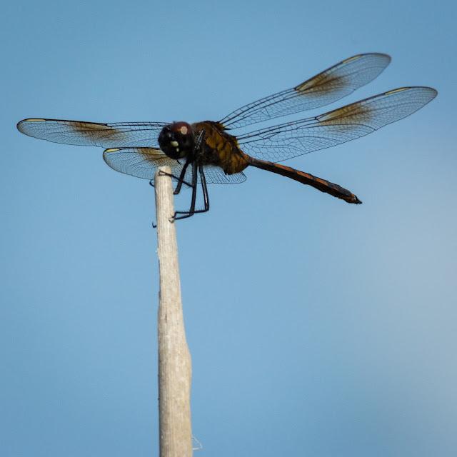 Dragonfly, Anahuac National Wildlife Refuge