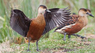 Burung Perenang Burung Belibis