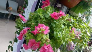 Bunga Petunia (Rumah Bunga Neisha)