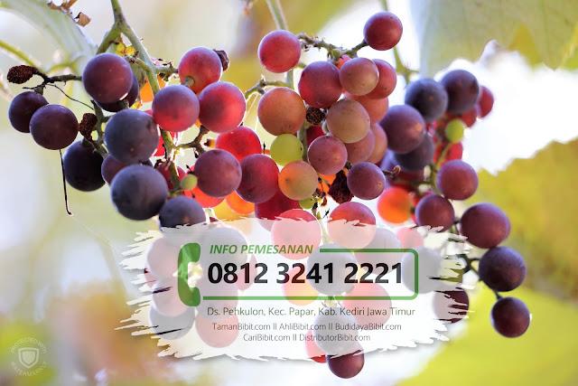 Jual Bibit Buah Anggur Red Isabella