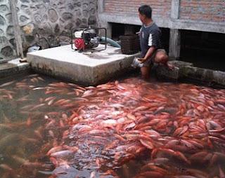 cara budidaya ikan nila di kolam kecil,cara budidaya ikan nila di kolam tanah,cara budidaya ikan nila di kolam terpal,budidaya ikan nila di kolam rumah,budidaya ikan nila di kolam air tenang,