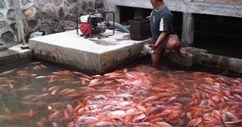 Cara Budidaya Ikan Nila Di Kolam Beton Yang Mudah