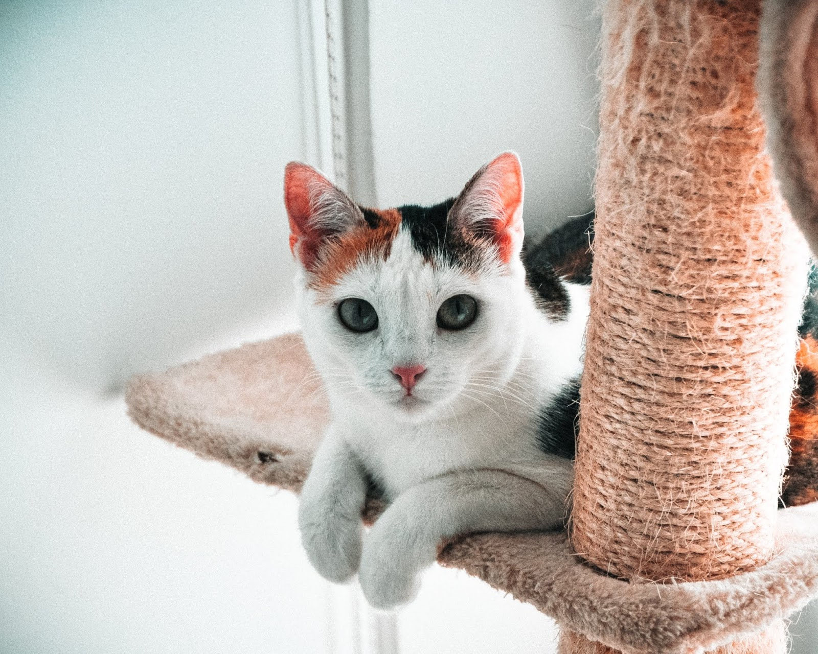 calico cat on the tree,cat images