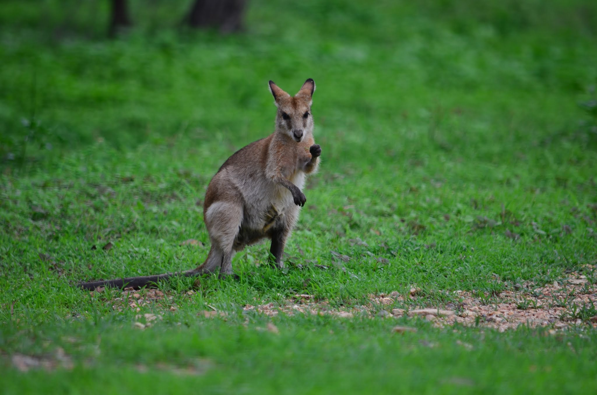 100+ Kangaroo's HD Pictures - World Fastest 9th Land Animals