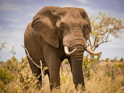 Best Animals Elephant Wallpapers , Elephant Backgrounds download Free HD, Desktop, Elephant, WideScreen, High Quality, Standard, Facebook Wallpapers Wild African Elephant Family in Jungle HD Wallpaper Elder Big Wild ElephantAnimal Wallpaper ,hd wallpaper beautiful hd wallpapers | Elephant  hd photos |Elephant  hd wallpapers | Elephant  hd images |Elephant  hd pics | Elephant  hd picturs | best animals Elephant  hd wallpapers | letest Elephant  hd images  | Elephant  images | Elephant  image | Elephant  photos | Elephant  pics | Elephant  picturs