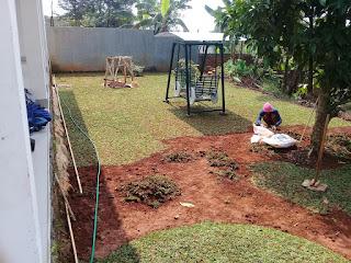 Jasa Pasang Rumput Gajah Mini | Pusat Rumput Gajah Mini Murah | Jual Rumput Gajah Mini Murah