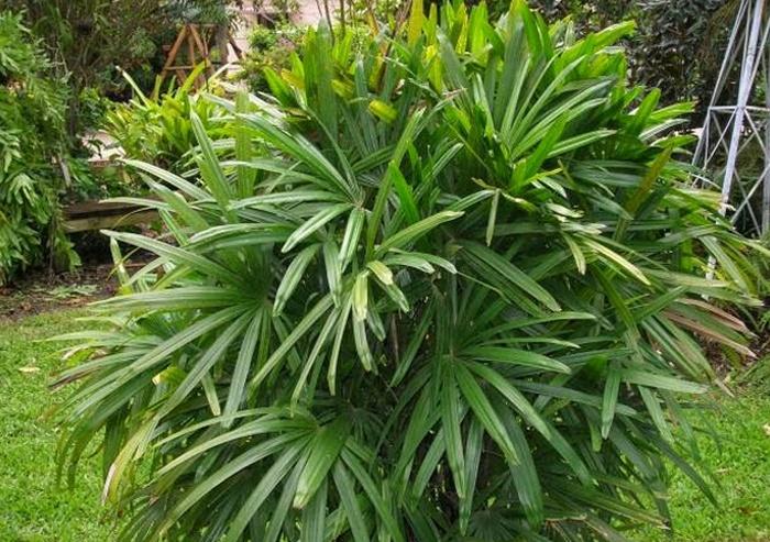 tanaman palem botol, tanaman palem bambu, tanaman palem kuning, tanaman palem merah, tanaman palem putri, manfaat tanaman palem kuning, tanaman hias, jenis tanaman palem