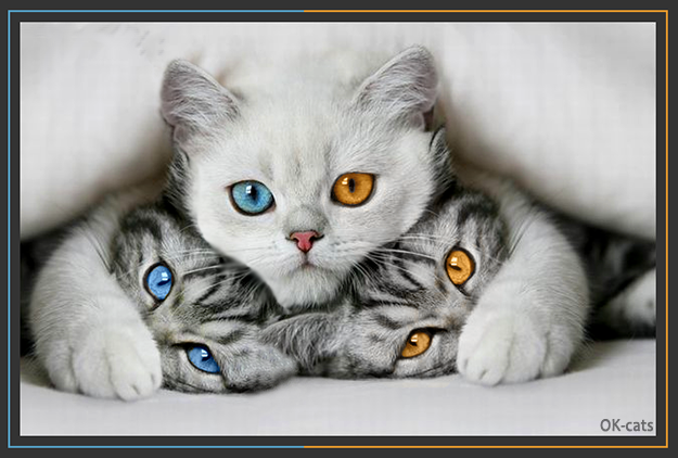Photoshopped Cat picture • Mama cat with blue and orange eye has 2 kittens with orange and blue eyes!