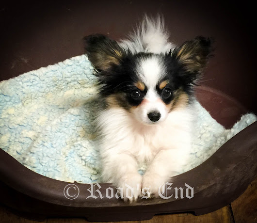 12 Week Old Papillon Puppy