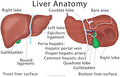 Anatomi Hati, Fungsi Hati, Fungsi Hati Membentuk atau Memproduksi Cairan Empedu, Fungsi Metabolik dari Hati, Fungsi Hati untuk Metabolisme karbohidrat, Fungsi Hati untuk Metabolisme protein, Fungsi Hati untuk Metabolisme Lemak, Fungsi hati Sebagai Pertahanan Tubuh, Fungsi Detoksifikasi, Fungsi Perlindungan, Fungsi vaskular hati