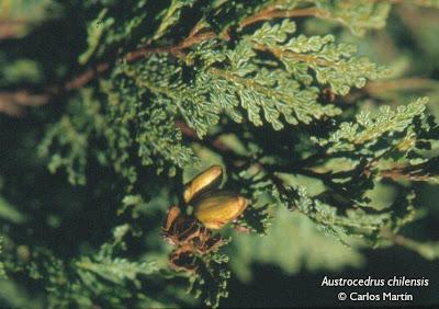 arboles patagonicos Ciprés de la cordillera Austrocedrus chilensis