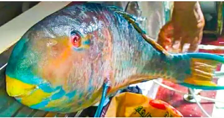 A Rare Species Tia Fish Caught In The Bay Of Bangal