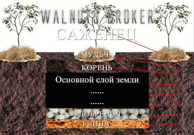 Посадка саженца скороплодного грецкого ореха сорт Кочерженко и сорт Иван Багряный от Walnuts Broker