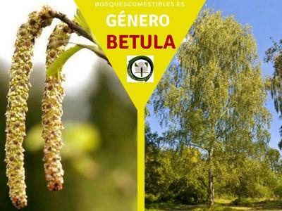 Lista de arboles en la Península del Género Betula