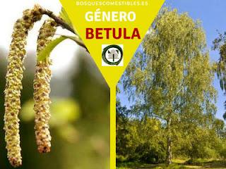 El género Betula, arboles caducifolios de hoja sencilla, alternas, con flores pequeñas