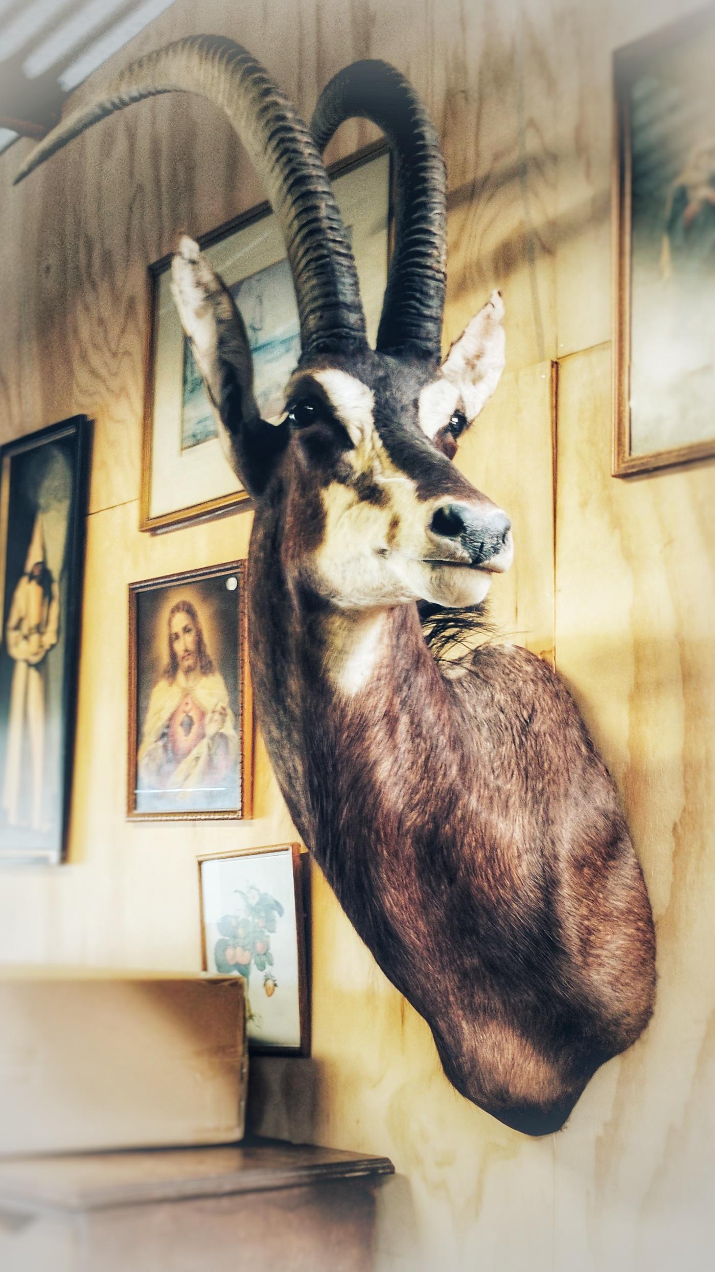 Antelopes head at the old Mumma T Trading Lounge (Amberley)
