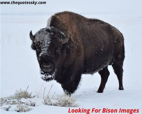 Bison Quotes and Instagram Captions for [2021]