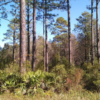 long leaf pine with palmetto understory in Apalachicola National Forest